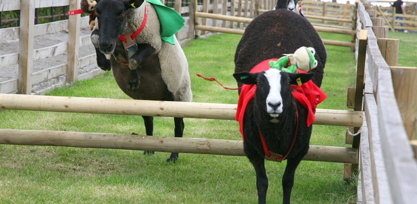 Sheep racing at Cannon Hall Farm
